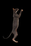 Sphynx Cat Standing op Zwarte Hind Legs Reaching Paw, stock foto