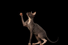 Sphynx Cat Standing su Hind Legs Reaching Paw, nera Fotografie Stock