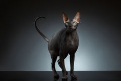 Sphynx Cat Stands et strabismes recherchant sur le noir image stock
