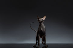 Sphynx Cat Stands and Looking up on Black Stock Image
