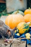 Sphynx cat stands next to fresh vegetables, smelling them. Autumn, royalty free stock image