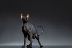 Sphynx Cat Stands and squints Looking up on Black Stock Photos