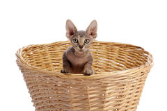 Sphynx cat in a staw basket Royalty Free Stock Photo