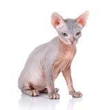 Sphynx cat studio shot, on a white background Royalty Free Stock Photo