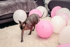 Sphynx cat is walking among colorful balloons