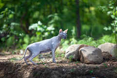 Sphynx cat walks through the woods Royalty Free Stock Photos
