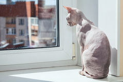 Sphynx cat warming in sunlight on sill window Royalty Free Stock Photography