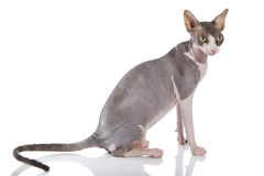 Sphynx cat. On a white background Royalty Free Stock Photos