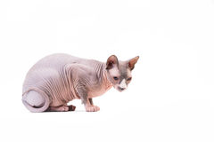 Sphynx cat on white background Royalty Free Stock Photo