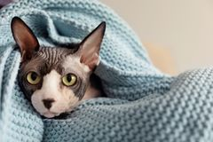 Sphynx cat wrapped in plaid at home royalty free stock photography