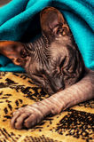 Sphynx cat Royalty Free Stock Photo