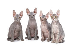 Sphynx cats. Isolated over white Royalty Free Stock Photos