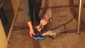 Sphynx cats waiting and eating food. Two sphynx cats waiting and after eating food. Kitten and adult stock video footage