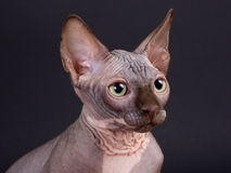 Sphynx Chocolate Kitten Royalty Free Stock Photo