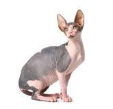 sphynx de chat Photographie stock libre de droits