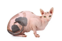 sphynx de chat Images stock