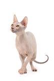sphynx de chat images libres de droits