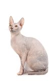sphynx de chat Photo libre de droits