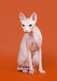 Sphynx de Don Photographie stock