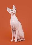 Sphynx de Don Photo stock