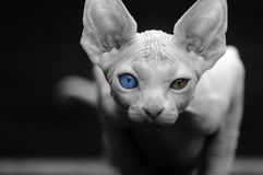 Sphynx with different eyes looking at the camera royalty free stock images