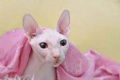 Sphynx hårlös katt Royaltyfria Bilder