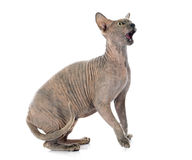 Sphynx Hairless Cat Stock Photography