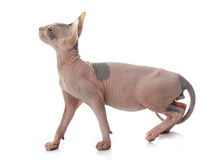 Sphynx Hairless Cat Royalty Free Stock Photography