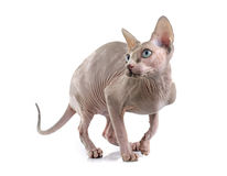 Sphynx Hairless Cat Royalty Free Stock Image