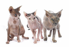 Sphynx Hairless Cats Stock Photography