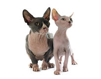 Sphynx Hairless Cats Royalty Free Stock Images