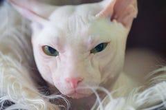 Sphynx hairless kitten cat royalty free stock photo