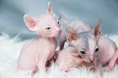Sphynx hairless kittens Stock Photos