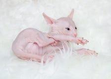 Sphynx hairless kittens Royalty Free Stock Photo