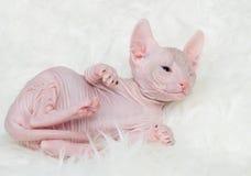 Sphynx hairless kittens Stock Image