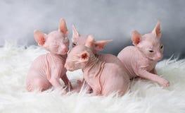 Sphynx hairless kittens Stock Photo
