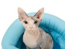 Sphynx hermoso en cama azul de la piel Imágenes de archivo libres de regalías