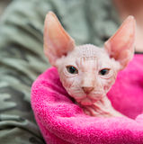 Sphynx-Kätzchen Lizenzfreie Stockfotos