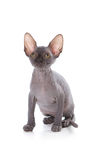 Sphynx Kätzchen Stockfotos