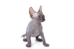 Sphynx Kätzchen Stockbild