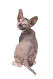 Sphynx Kätzchen Lizenzfreies Stockfoto