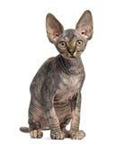 Sphynx-Kätzchensitzen stockbild