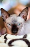 Sphynx katt Royaltyfria Bilder