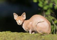 Sphynx katt Arkivbilder