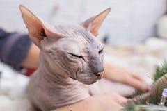Sphynx katt Arkivfoto