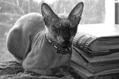 Sphynx katt Royaltyfri Fotografi
