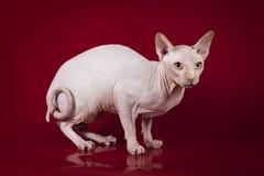 Sphynx katt på röd bakgrund för studio Arkivfoton