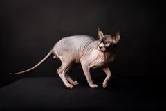 Sphynx katt. Skallig katt. Egyptisk katt Fotografering för Bildbyråer