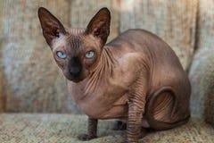 Sphynx katt som utomhus lägger på en lat pojkesoffa royaltyfria bilder