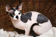 Sphynx katter inom en träkorg som ser upp Royaltyfri Bild